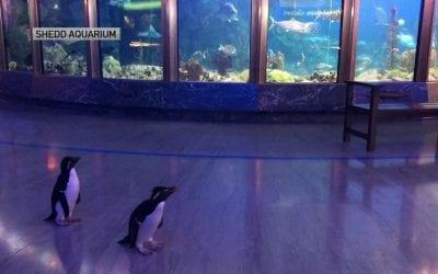 Penguins Explore Empty Aquarium That Was Shut Due To Coronavirus